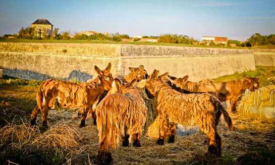 Balade des ânes en culotte Ile de Ré