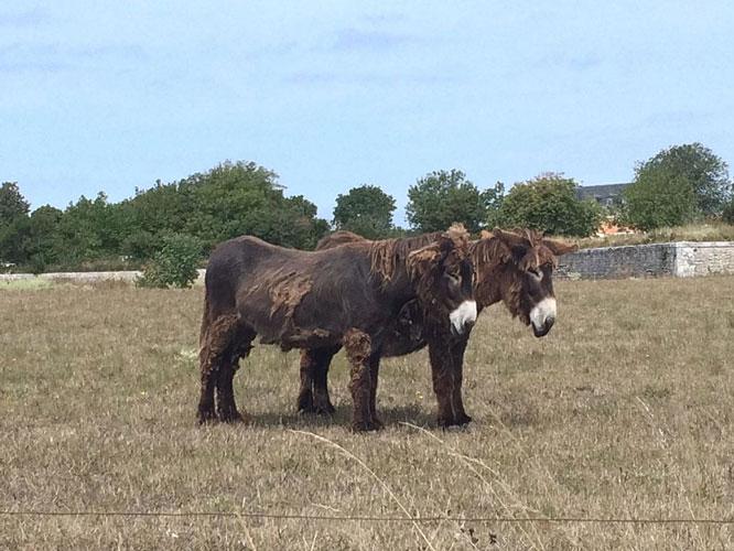 ânes marrons île Ré