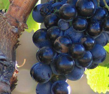 coopérative des vignerons camping île de Ré