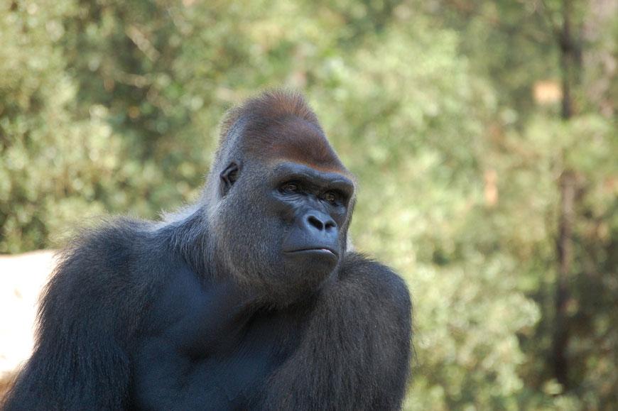 gorille zoo la palmyre