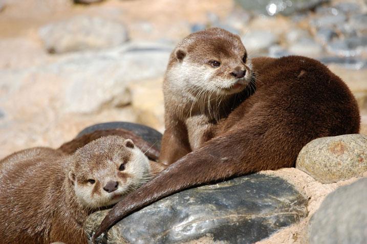 aschgraue Otter Zoo la palmyra