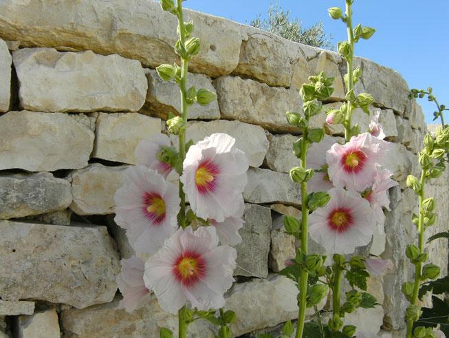 roses en île de Ré camping